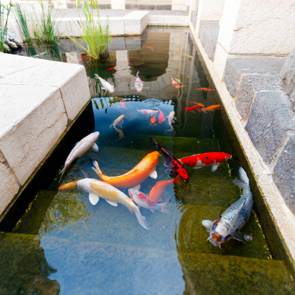 Custom koi pond design singapore customized design for Koi pool dekor